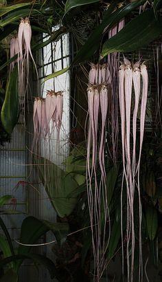 Bulbophyllum longissimum.Es una orquídea de tamaño pequeño a mediano, de crecimiento cálido con hábitos de epífita con pseudobulbos cónicos, enfundados que llevan una hoja subsésil solitaria, apical, oblonga, coriácea. Florece en el invierno en una inflorescencia erecta o colgante, de 20 cm de largo con 5 a 10 flores, en umbela apical, con flores fragantes de corta duración. 1
