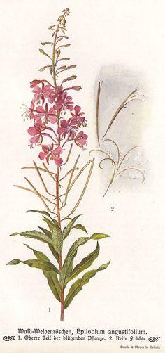 Fireweed original 1913 botanical print Great by PaperThesaurus