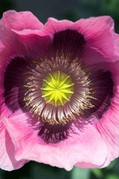 Opium poppy, view into flower