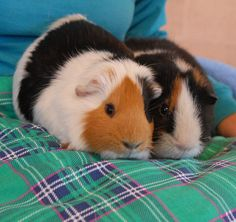 Buster & Keaton are young brothers with docile, but fun-loving spirits and they are debuting for adoption today at Nevada SPCA (www.nevadaspca.org).  The boys are American breed guinea pigs with very attractive calico coloring, about 18 months of age.  Please ask for them by name in our Lovebugs Room.  Buster & Keaton are strongly bonded and need to remain together forever.  They were reportedly given away by their previous owner to another family member who did not want them.