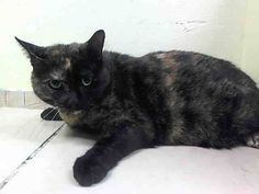 TO BE DESTROYED 7/18/14 ** Pretty girl looking for a new friend tonight! Josphine interacts with the observer, does not solicit but appreciates attention, tolerates limited handle but tolerates all petting. ** Brooklyn Center  My name is JOSPHINE. My Animal ID # is A1006055. I am a spayed female tortie domestic sh mix. The shelter thinks I am about 5 YEARS old.  I came in the shelter as a OWNER SUR on 07/09/2014 from NY 11414, ATT PEOPLE.