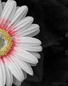 Splash of Color Amazing Pictures Photo Print by Michael Taggart Photography flower pink white yellow gerbera daisy