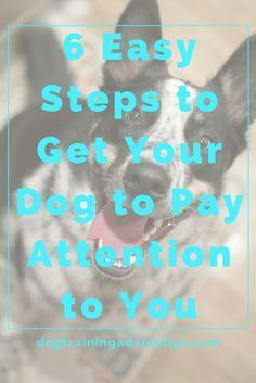 6 Easy Steps to Get Your Dog to Pay Attention to You | Dog Training Tips | Dog Obedience Training | Dog Training Commands | http://www.dogtrainingadvicetips.com/6-easy-steps-get-dog-pay-attention