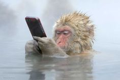 A snow monkey (Japanese macaque) enjoying himself in the water while using his smartphone. This photograph taken by Marsel van Oosten has been shortlisted by for the People's Choice Award in the Wildlife Photographer Of The Year competition Primates, Animals And Pets, Funny Animals, Cute Animals, Animal Memes, Nature Animals, Wild Animals, Baby Animals, Beautiful Creatures