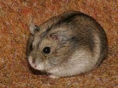 Como cuidar de um hamster russo