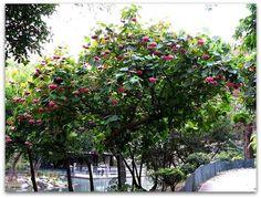 Astrapéia, Astrapéia-rosa, Dombéia, Flor-de-abelha– Dombeya wallichii   A astrapéia é uma arvoreta ou arbusto de ótimas características ornamentais, que se espalhou pelo mundo por sua exuberância e popularidade. Ela apresenta ramos pubescentes, e porte pequeno para um árvore, alcançando cerca de 2 a 5 metros de altura.   http://sergiozeiger.tumblr.com/post/114497377643/astrapeia-astrapeia-rosa-dombeia  As inflorescências surgem no outono e inverno, e são umbeliformes, sustentadas por longos…