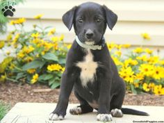 1000 ideas about black labs for sale on pinterest