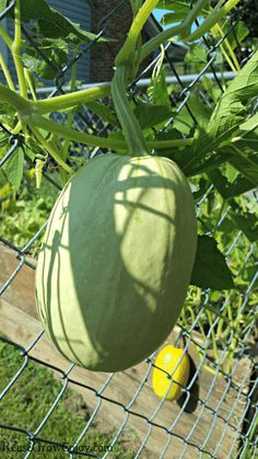 Thinking of growing spaghetti squash and not sure where to start? Check out these best tips for growing spaghetti squash. I will even cover ways to cook, and troubleshooting issues. Squash Seeds, Squash Food, Growing Spaghetti Squash, Squashes, Aromatic Herbs, Weird Shapes, Different Plants, Garden Trellis, Cheese Food