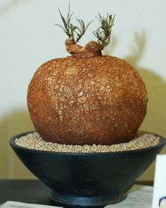 Jaba the bonsai. grin. Ipomoea baobab bonsai