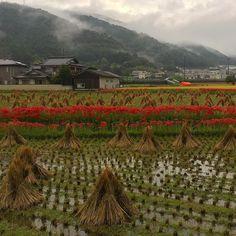 Осенняя пора очей очарованье... #дождьнарисовлмполе #Япония #осень #ликорисы #стерня  #Киото #сельскийпейзаж #дождь