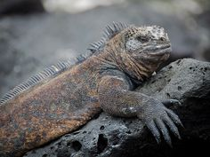 Story: The Only Galapagos Marine Iguana We Might Ever See Is Right Here, Right Now: http://www.everintransit.com/photos-i-took-with-my-dad/