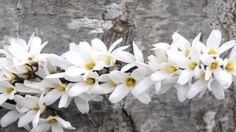 Abeliophyllum - A Deciduous Shrub Garden Plants, Shrubs, Shrub