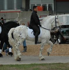 """grey leopard - 75% Friesian, 25% Appaloosa stallion Mystic Warrior [This horse was born with loud black leopard spotting. Due to grey gene he's been gradually """"losing"""" spots. At present he's almost completely white.]"""