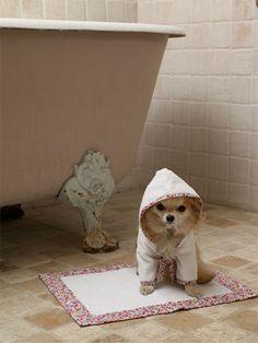 Tiny dog in a tiny bathrobe.