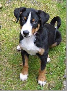 Puppies And Kitties, Cute Puppies, Pet Dogs, Dog Cat, Doggies, Entlebucher Mountain Dog, Bernese Mountain, Mountain Dog Breeds, Animals And Pets