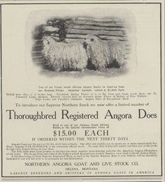 "1906 Ad Northern Angora Goat for sale from Helena MT. How did they get them to points south? Train...I don't see a ""goat drive through the US"". ??? ($9.99)"