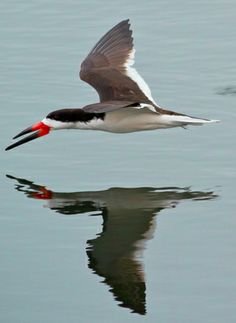 Black Skimmer, this guy will protect his young if you get near the nest.