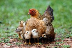 Week in wildlife: A hen warms her chicks in the rain on the outskirts of Bangkok (via the guardian) Hens And Chicks, Baby Chicks, Beautiful Birds, Animals Beautiful, Beautiful Pictures, Farm Animals, Cute Animals, Funny Animals, Chickens And Roosters