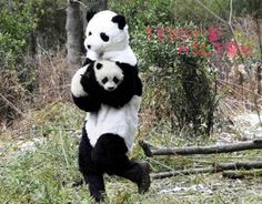These Chinese researchers dress up in very hot panda suits when working with little pandas to make the integration process as easy as possible for these gentle bears.