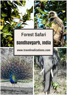 It was an exciting forest safari in Bandhavgarh national park in Madhya Pradesh. We were greeted by a melodious bird song.