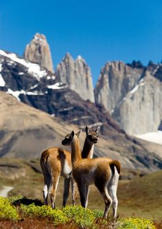 Guanacos, Torres del Paine National Park, Chile. (Guanaco is a member of the camel family such as  lamas, camels and alpacas )