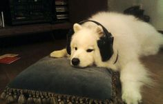 Rock on! Puppy listens to music headset.  Dog bobs and weaves to music