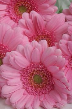 Gerbera daisies discovered by 𝓈𝒶𝓂𝒶𝓃𝓉𝒽𝒶 𝓈𝑒𝓇𝑒𝓃𝒶 ✰ Pink Love, Pretty In Pink, Pink And Green, Pretty Roses, My Flower, Flower Power, Gerbera Flower, Pink Gerbera, Pink Flowers