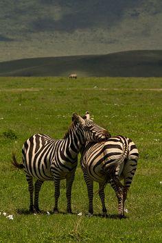 A zebra resting its head on a fellow zebra. Ngorongoro crater, Tanzania. Terje Kristoffersen