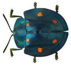 fam chrysomelidae: a polka dot beauty.