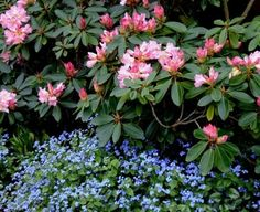 Brunnera macrophylla Jack Frost (Siberian Bugloss) with rhododendron Hillside Landscaping, Outdoor Landscaping, Front Yard Landscaping, Farmhouse Landscaping, Outdoor Gardens, Garden Shrubs, Shade Garden, Shade Plants, Cool Plants