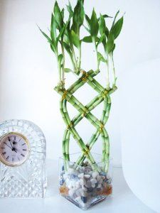 Live 8 Braided Lucky Bamboo Plant Arrangement w/ Pebble & Vase East Care Indoor Indoor Bamboo Plant, Lucky Bamboo Plants, Bamboo Garden, Home Garden Plants, Indoor Plants, Indoor Trees, House Plants, Silk Tree, Live Plants