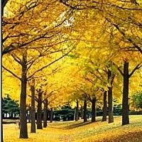 """Ginkgo Biloba Tree: Fast growing, cool little fan shaped leaves that turn yellow in fall, get """"male"""" tree so does not have foul smelling fruit produced"""