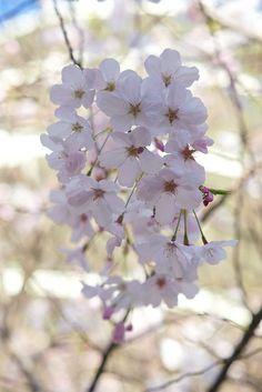 Sakura by davegolden, via Flickr