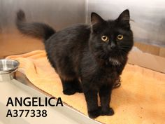 Angelica (ID: A377338) is a gorgeous, sweet and friendly teenage kitten. She is a polydactyl (extra toes) on all 4 of her paws and has silky soft fur. She is affectionate and can't wait to meet her person! She came to the shelter as a stray and is such a nice kitten that it is surprising that nobody came to claim her. Come in today to meet this little angel Angelica. New photo to come