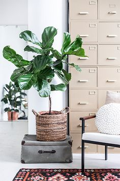 Keeping your home cool with houseplants Ficus, Garden Spaces, Houseplants, Flower Pots, Flowers, Indoor Plants, Interior Inspiration, New Homes, Living Room