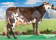France (Saintyorre x Ricardo), appartenant au GAEC Laval Dreams à Amanlis (Ille-et-Vilaine), Grande Championne au SPACE 2015 à Rennes Holstein Cows, Dairy Cattle, Gado, Two By Two, Africa, Hamilton, French, Fluffy Cows, Beef Cattle