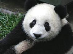 Panda HD Wallpapers  Backgrounds  Wallpaper  1024×683 Panda Images Wallpapers (34 Wallpapers) | Adorable Wallpapers