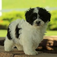 This cute and curly tailed Shichon puppy is one, little teddy bear! Conner has a 1 year health guarantee through the breeder, is vet checked and vaccines and wormer up to date. He has a lively and bubbly personality that is sure to warm your heart. If you are looking for a new best friend, then this is the fella for you! Please contact the breeder to set up an appointment if you would like to meet Conner and to get to know her! •1 year health guarantee provided by the breeder •Jake Stoltzfus…