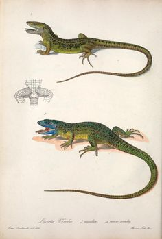 t. 2 - Iconografia della fauna italica : - Biodiversity Heritage Library