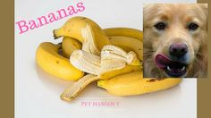 And you thought Monkeys were the only one to go crazy for bananas!   There are many healthy human foods that dogs love to rock too.   Read one of our original posts to learn more about foods you should and should not feed to your dog or puppy.  healthy foods for your dog   can my dog eat bananas   can my dog eat peanuts   can my dog eat watermelon   can my dog eat apples   can my dog eat cheese   can my dog eat mushrooms   can my dog eat tomatoes   can my dog eat popcorn   can my dog eat…