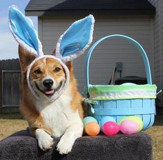 Hope all my family and friends have a Happy Easter! Easter Peeps, Hoppy Easter, Easter Dogs, Corgi Names, Animals And Pets, Cute Animals, Corgi Pictures, Pembroke Welsh Corgi, Beautiful Dogs