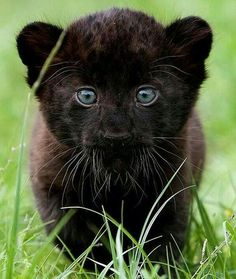 Baby Panther Cub ❤