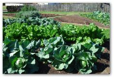 How to Grow Kale, Planting Kale, Growing Kale in Your Garden