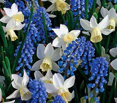 Bulbs for fall planting - Wanderlust - Narcissus & Muscari Mixture