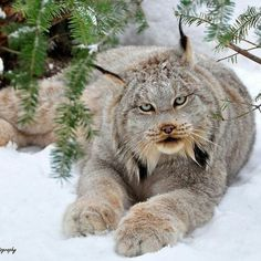 The Canadian lynx is a North American mammal of the cat family, Felidae. It is a close relative of the Eurasian Lynx. However, in some characteristics the Canadian lynx is more like the bobcat than the Eurasian Lynx. ~via Amazing Things in the World, FB Big Cats, Cool Cats, Cats And Kittens, Nature Animals, Animals And Pets, Cute Animals, Wild Animals, Animals In Snow, Baby Animals