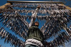 'Salvation Fish' That Sustained Native People Now Needs Saving Traditional fishermen lead the fight to bring back a species that has an outsize role in nature and culture. MacKinnon Photographs and video by Paul Colangelo
