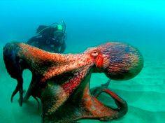 Uma lula-colossal de 350 quilos e 3,5 metros de comprimento, apanhada no ano passado no mar Adriático, tinha três corações e olhos de 35 cm de diâmetro, revelaram cientistas esta terça-feira, que submeteram o molusco a uma autópsia na Nova Zelândia.
