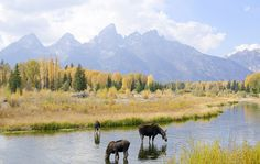 Moose Under the Tetons