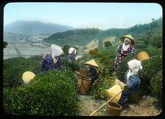 Picking grils take rest in the tea plantation  Enami Studio Lantern Slide No : 586.  About 1920's, Japan