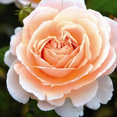 Pflanzen-Kölle Edelrose 'Duftjuwel®'.  Herrlich duftende Edelrose mit traumhaften, stark gefüllten Blüten in Pfirsich-Rose. Wunderschön im Garten oder als Kübelbepflanzung.